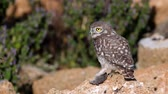 猛禽 : Owls. Young little Owls (Athene noctua) sits on a stone