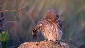 baykuş : Owls. Young little Owls (Athene noctua)