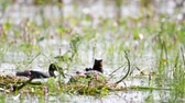 pintinho : Great Crested Grebe, Podiceps cristatus, on the nest. Moms back Vídeos