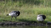 ornitologie : The Bird of Goosecleans Branta leucopsis