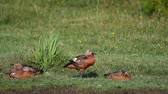 patitos : Young Ruddy Shelduck ducklings resting on the grass. Tadorna ferruginea