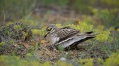 madármegfigzelés : Eurasian stone curlew (Burhinus oedicnemus) sits on the nest with hatched chick