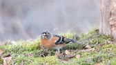 mech : Brambling, Fringilla montifringilla, birds are looking for seeds in the grass Dostupné videozáznamy