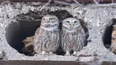 komiks : Two Owls are cooing at the burrow. Little owl (Athene noctua) Singing birds