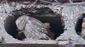 kousání : Two Owls are cooing at the burrow. Little owl (Athene noctua) Singing birds