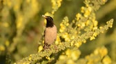 ornitologie : The rosy Starling (Sturnus roseus) sits on beautiful yellow flowers with food in its beak Dostupné videozáznamy