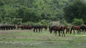 Distant view of Horses on Pasture in Thailand