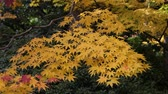 Colorful of japanese maple leaves in autumn