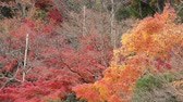 Colorful Japanese Maple in autumn.