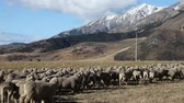Grazing flock of Sheep in a farmland of New Zealand