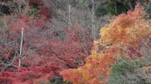 Colorful maple leaves in autumn at Ryoanji temple, Kyoto, Japan