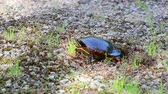 seixos : A painted turtle uses her feet to pack down the soil over her nest. She is doing this to protect her eggs.