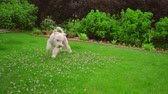 brinquedos : Man playing with dog at garden. White dog playing ball. Pov of man hand throwing tennis ball. Point of view owner play with pet. Playful Labradoodle running on grass. White poodle dog catching ball