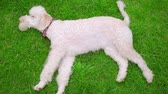 игривый : Dog resting on lawn. White dog lying on green grass. White labradoodle relaxing outside. Dog relaxing on meadow. Playful animal with ball outdoor. Cute animal with toy