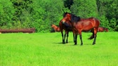 родословная : Horses walking on green field. Rural landscape. Brown horses grazing on pasture. Herd horses eats green grass on rustic pasture. Close up brown horses graze on green meadow