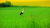 buscar : One white stork in green grass. Close up stork walking along green field. Bird looking food on green grass meadow. Stork takes off from field. White stork flying over field