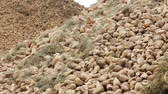 beterraba : Sugar processing factory. Pile of sugar beet. . Raw materials on processing factory. Harvested sugar beet. Sugar harvest. Agriculture industry. Harvest vegetables