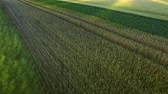 grain growing : Beautiful landscape wheat field in agricultural land. Green agricultural field on summer day. Drone view wheat growing on farming field. Grain field aerial landscape. Farming land Stock Footage