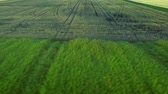 corn : Green farming field aerial landscape. Wheel trace agricultural vehicle on harvest field. Sky view wheat field landscape. Grain growing on rural field. Aerial farmland landscape