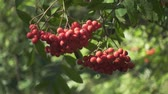 üvez ağacı : Ripe rowan berries on green branches mountain ash tree in forest. Close up bright berries roman trees on background green foliage trees in garden Stok Video