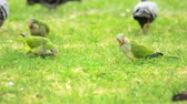 Parrots birds graze on green grass. Green wavy parrots and pigeons walking on summer meadow. Flock wavy parrots eating fresh grass on green meadow Wideo