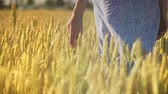 agronomist : Woman hand touching wheat ear in field. Female agronomist touching wheat harvest at summer. Close up of woman farmer hand touch wheat field. Agriculture concept Stock Footage