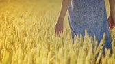 agronomist : Female farmer touching wheat in golden wheat field. Closeup of woman hand touch grass in field. Rich agricultural land. Agronomist check quality of summer harvest Stock Footage