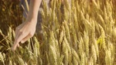 agronomist : Woman farmer touching wheat ears in field at summer. Close up of female hand touch wheat field. Agriculture concept