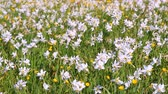 white narcissus : Field of flowering daffodils and buttercups. Beautiful flower bed. Flower clearing. Spring bed with beautiful white daffodils and yellow buttercups. Narcissus flowers landscape