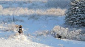 ladin : Two bull moose fighting over a female in winter with snow. Stok Video