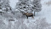 vegetação : Moose browsing on sparse vegetation in winter in Alaska with snow