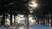 radial : Sunburst through spruce trees with blowing snow in winter in Alaska