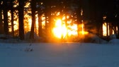 ladin : Golden glow of a sunset through spruce trees in Alaska in winter