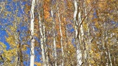 осень : Aspens moving in the wind with fall colors and a bright blue sky