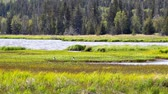Birds in an Alaskan wetland meadow with foliage blowing in the wind