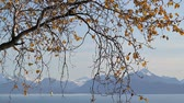 nyírfa : Birch tree with leaves moving in the wind in fall with beautiful bay and mountain scenery in the background