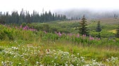 Mist descending over a wild Alaskan landscape with spruce trees Stock Footage