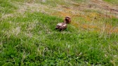 Two brown ducks foraging in the grass in Alaska Stock Footage
