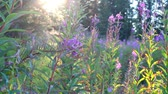 radial : Warm glow of the setting sun through a spruce forest with wildflowers Stock Footage