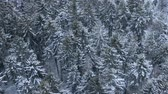 christmas bird : Beautiful winter forest. Aerial view from the drone.