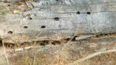 buk : Anthill in fallen tree. Crack in the tree
