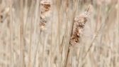 wild : Seedy reed stalks Stock Footage