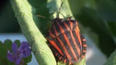 capa dura : Graphosoma lineatum sitting on the grass