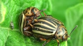 colorado potato beetle : Colorado Potato beetle - agriculture pest Stock Footage