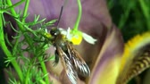 capa dura : Large wasp hornet macro flower Stock Footage