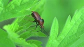 whiskers : Black bug, insects beetle macro Stock Footage