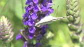 butterfly setting in Blue flower macro field Stock Footage
