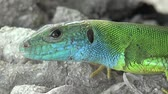 Head Lizard reptile lying on rock basking in sun Stock Footage