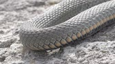 Snake River Natrix reptile thick lies on a rock basking in the su Stock Footage