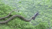 Snake River Natrix floats reptile in water on river among green algae